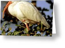 White Ibis Eudocimus Albus Greeting Card