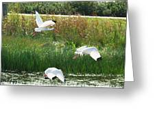 White Ibis In Flight 15 Greeting Card by Walter Rickard