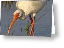 White Ibis In Grass Greeting Card