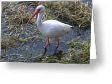 White Ibis In The Swamp Greeting Card