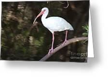 White Ibis On Mangrove Limp Greeting Card
