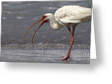 White Ibis On The Beach Greeting Card