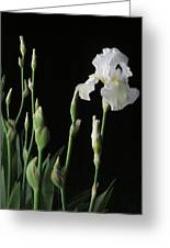 White Iris In Black Of Night Greeting Card