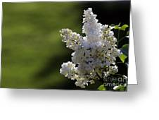 White Lilac Greeting Card