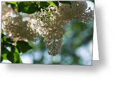 White Lilacs In The Shade - Featured 2 Greeting Card