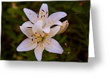 White Lily Starburst Greeting Card