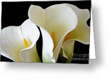 White Lily Trio Greeting Card
