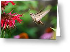 White-lined Sphinx Humming Bird Moth Greeting Card