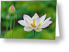 White Lotus Flower And Buds Greeting Card