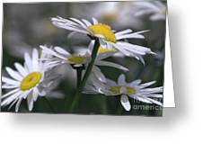 White Marguerite Greeting Card