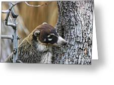 White-nosed Coati 2 Greeting Card