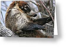 White-nosed Coati 3 Greeting Card