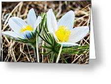 White Pasque Flower Greeting Card