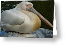 White Pelican Sitting Greeting Card
