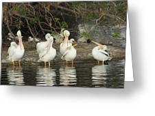 White Pelicans Grooming Greeting Card