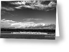 White Pelicans On Island In The Everglades Greeting Card