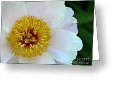 White Peony Greeting Card