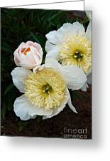 White Peony Flowers Series 2 Greeting Card