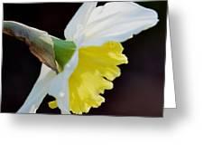 White Petaled Daffodil Greeting Card