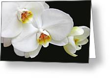 White Phalaenopsis Orchid Flowers Greeting Card