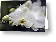 White Phalaenopsis With Water Drops 5797 Greeting Card