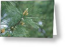 White Pine Flower N Spittle Bug Greeting Card