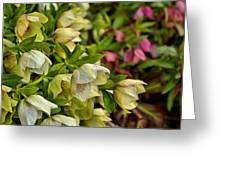 White/pink Lenten Roses Greeting Card