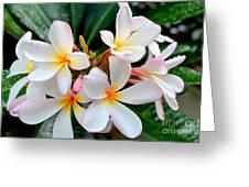 White Plumeria - 1 Greeting Card