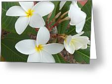 White Plumeria Greeting Card