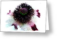 White Poppy Macro Greeting Card