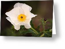 White Prickly Poppy Greeting Card by Thomas Pettengill
