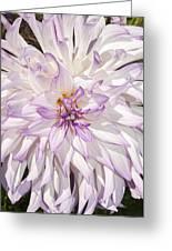 White Purple Dahlia Greeting Card