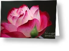 White Red Rose 01 Greeting Card