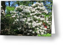 White Rhododendron Blooming In The Garden Greeting Card
