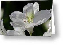 White Rhododendron Greeting Card