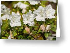 White Rhododendron Flowers In Bloom. Greeting Card