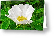 White Rose At Norris Point In Gros Morne National Park-newfoundland  Greeting Card