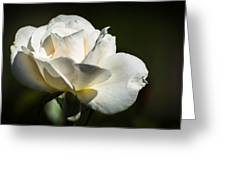 White Rose Greeting Card