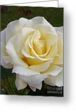 White Rose Named Ray Of Sun Greeting Card