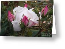 White Rose Pink Buds Greeting Card