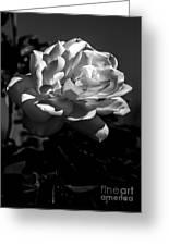 White Rose Greeting Card by Robert Bales