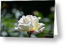 White Roses Greeting Card