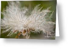 White Seedhad Of Mountain Avens Greeting Card