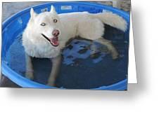White Siberian Husky In Pool Greeting Card