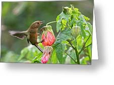 White-sided Flowerpiercer Greeting Card