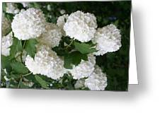 White Snowball Bush Greeting Card