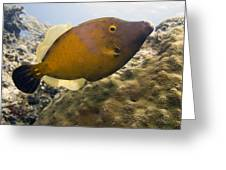 White Spotted Filefish Greeting Card