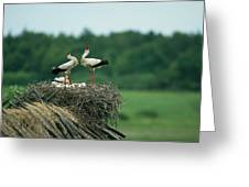 White Storks Displaying In Their Nest Greeting Card