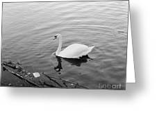 White Swan Solitary Greeting Card