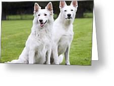 White Swiss Shepherd Dogs Greeting Card